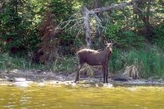 Moose WB 2017