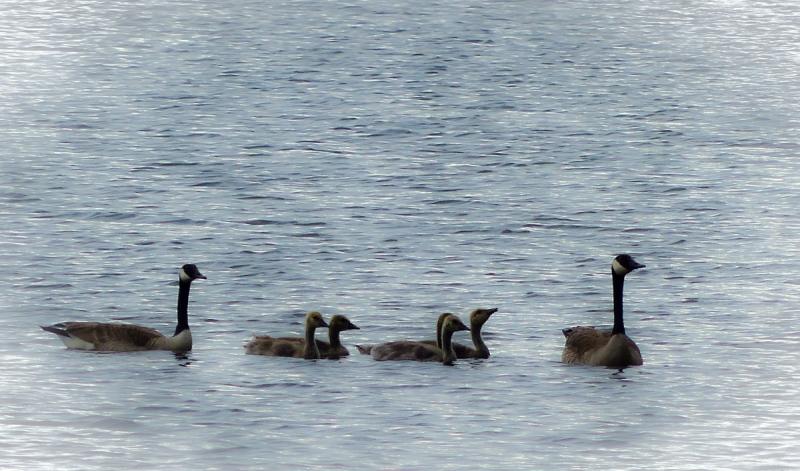Goose Family2